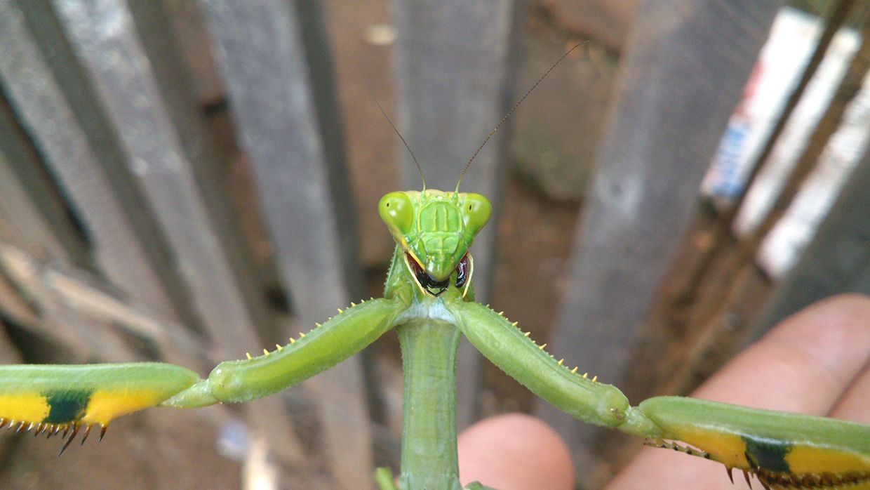 A close-up photo of a praying mantis that appears to be taking a selfie.