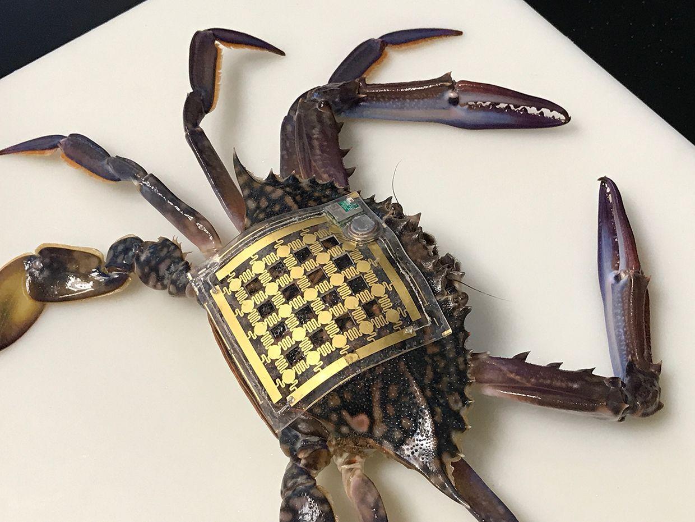 A crab wearing KAUST's Marine Skin prototype.