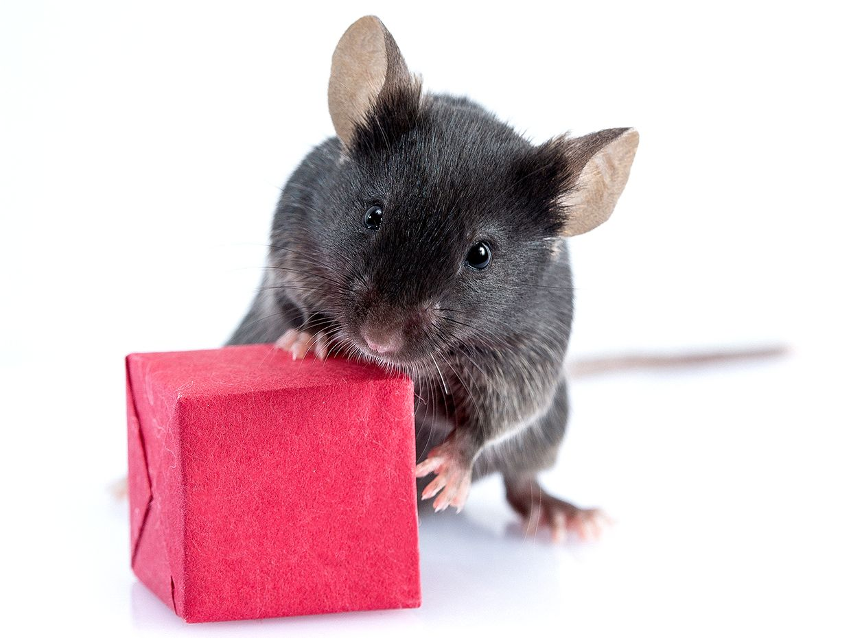 A mouse sniffs a small red cube.