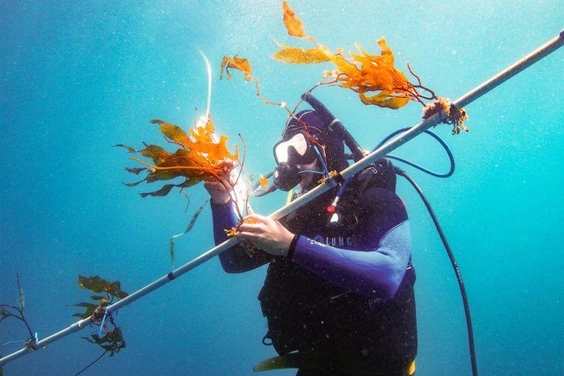 Diver farming kelp