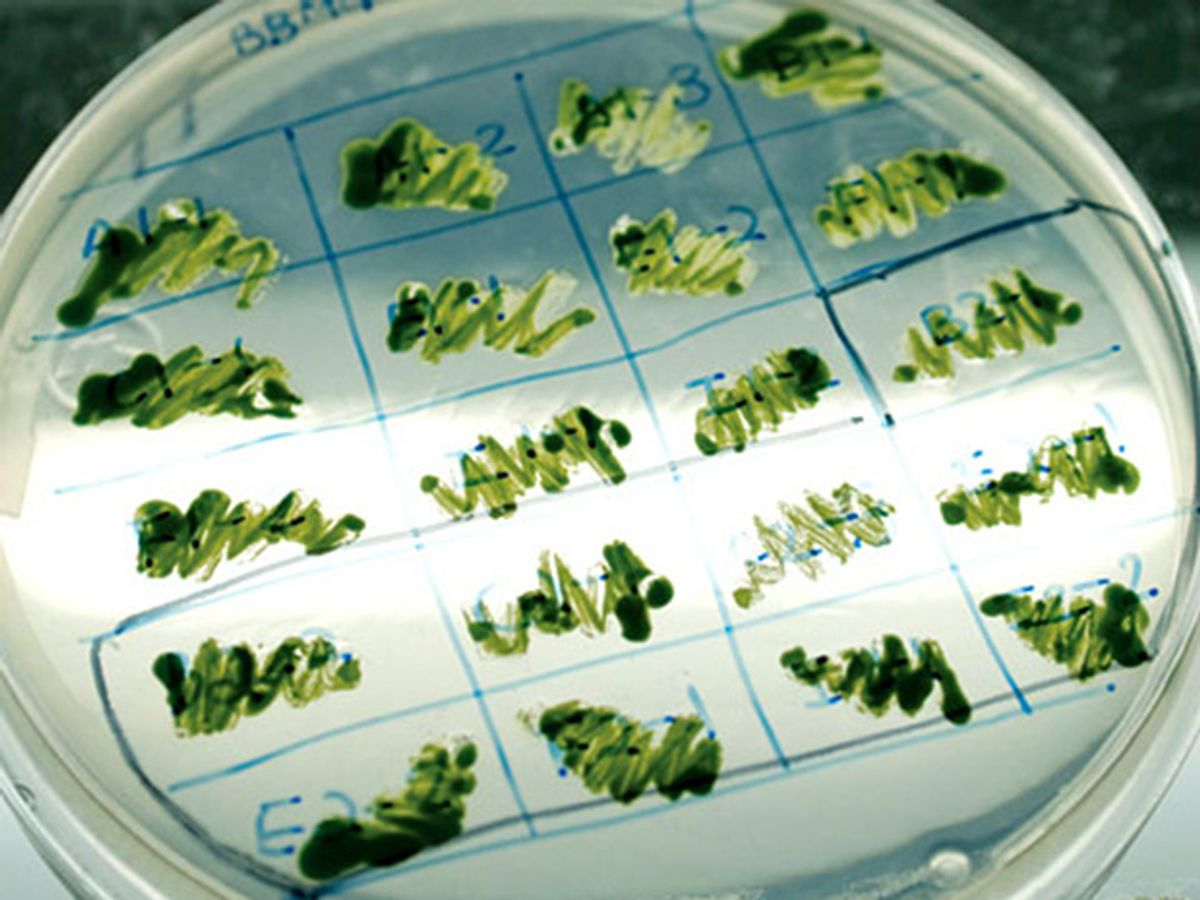 Some of the algal cultures grown at the National Renewable Energy Laboratory, in Colorado.