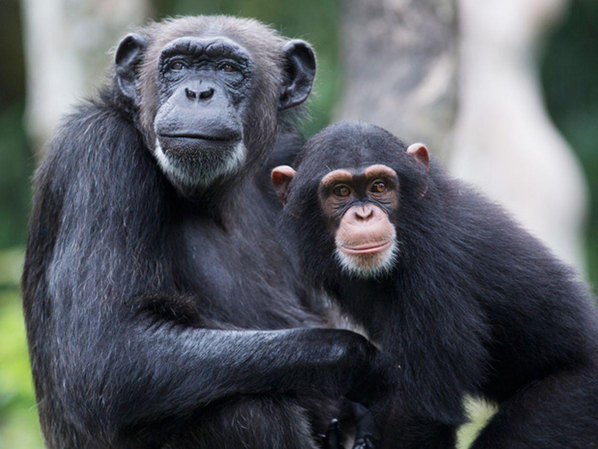 Study Reveals Chimpanzees' Curiosity about Robots