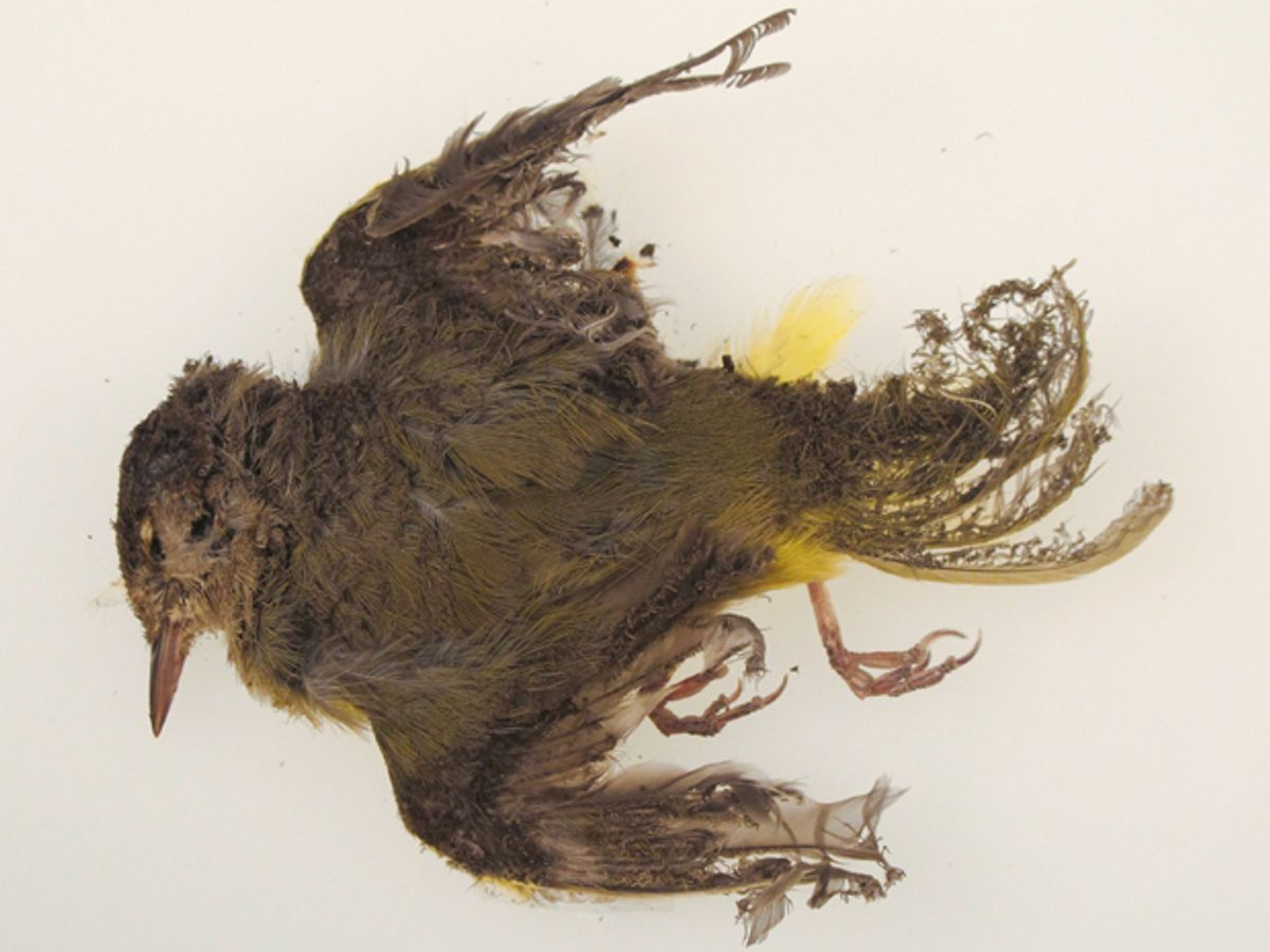 A dead brown and yellow bird with singed and curled feathers.