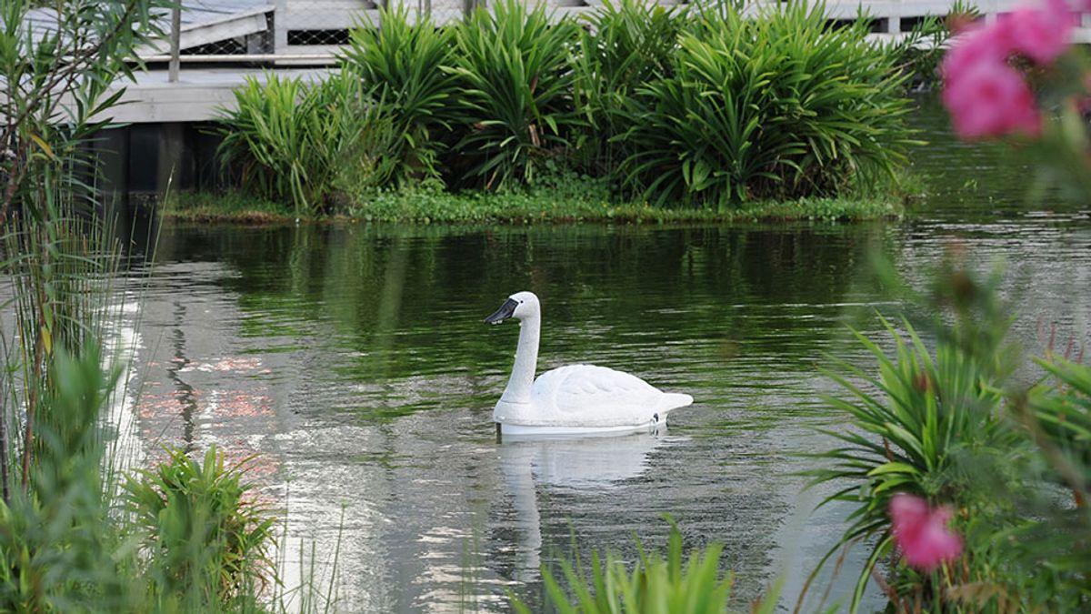 Robot Swans Explore Singaporean Reservoirs