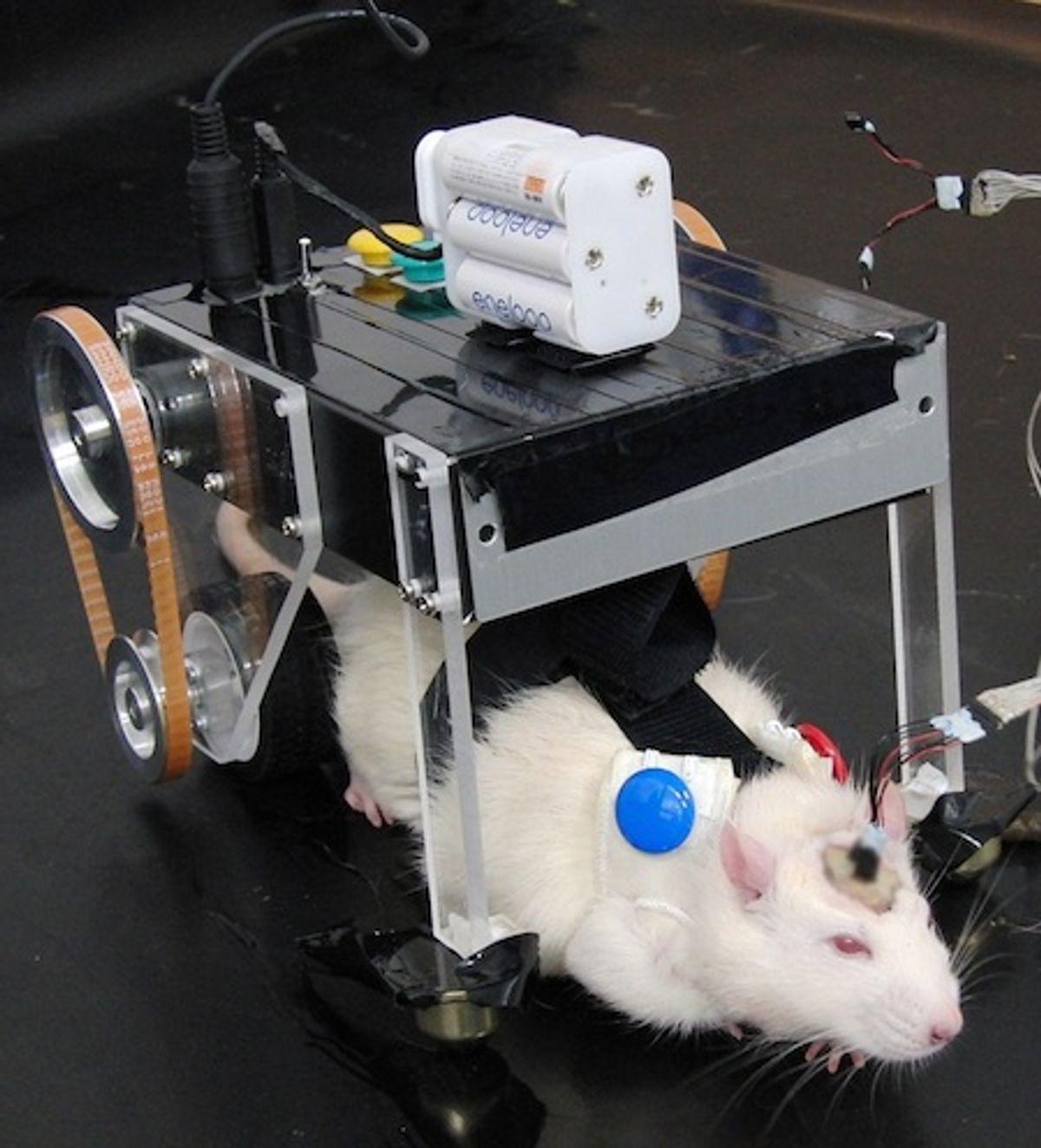 Researchers Using Rat-Robot Hybrid to Design Better Brain Machine Interfaces