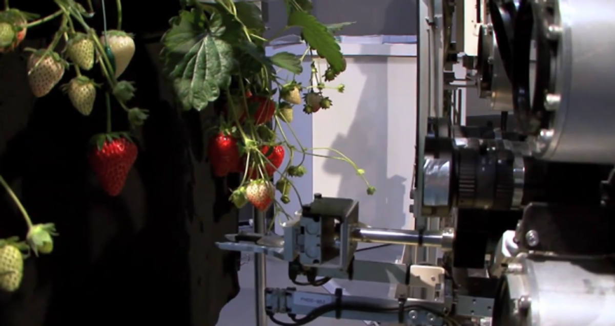 Greedy Robot Picks Only The Ripest Strawberries
