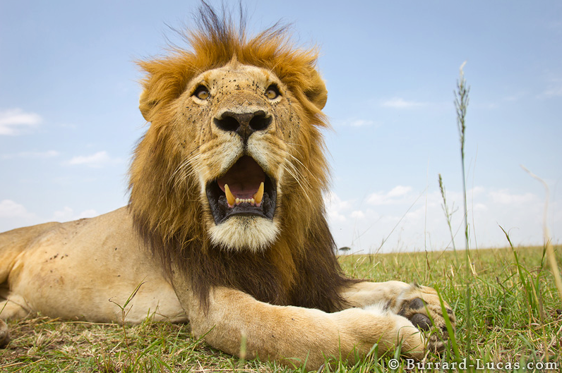 beetlecam wildlife photo robot lion closeup