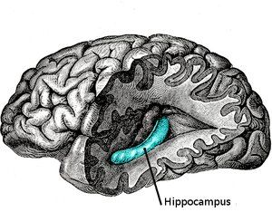 drawing of brain showing region called hippocampus