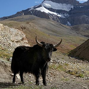 photo of landscape with yak