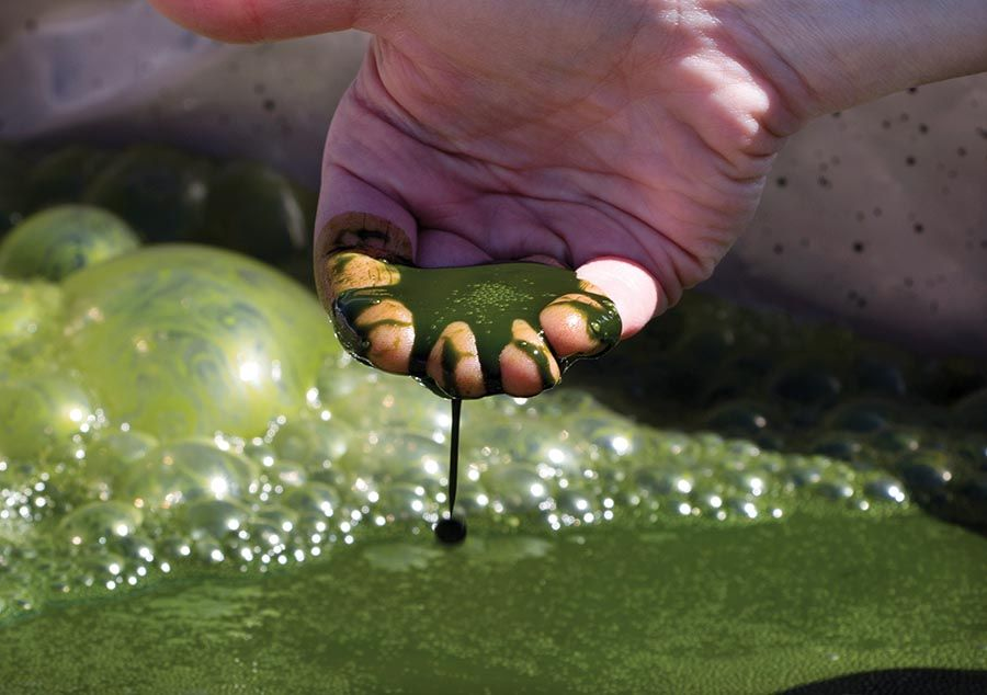 photo showing shipping totes algae.