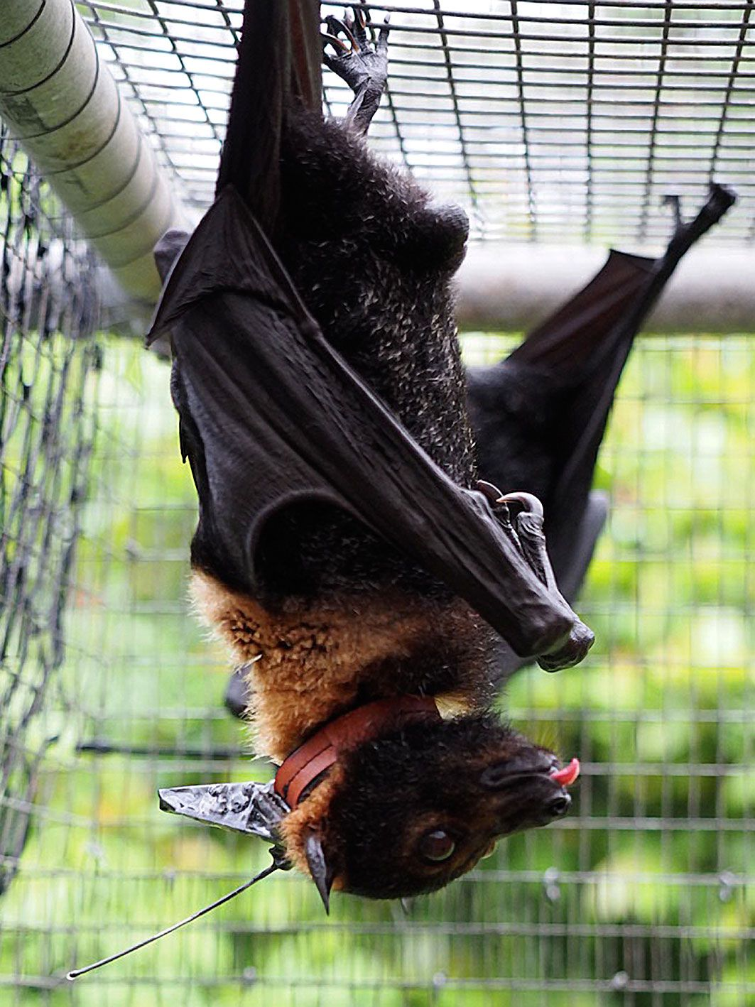 spectacled flying fox (Pteropus conspicillatus) with the collar
