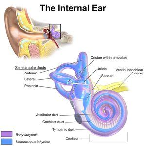 Diagram shows the inner ear structures that make up the vestibular system.