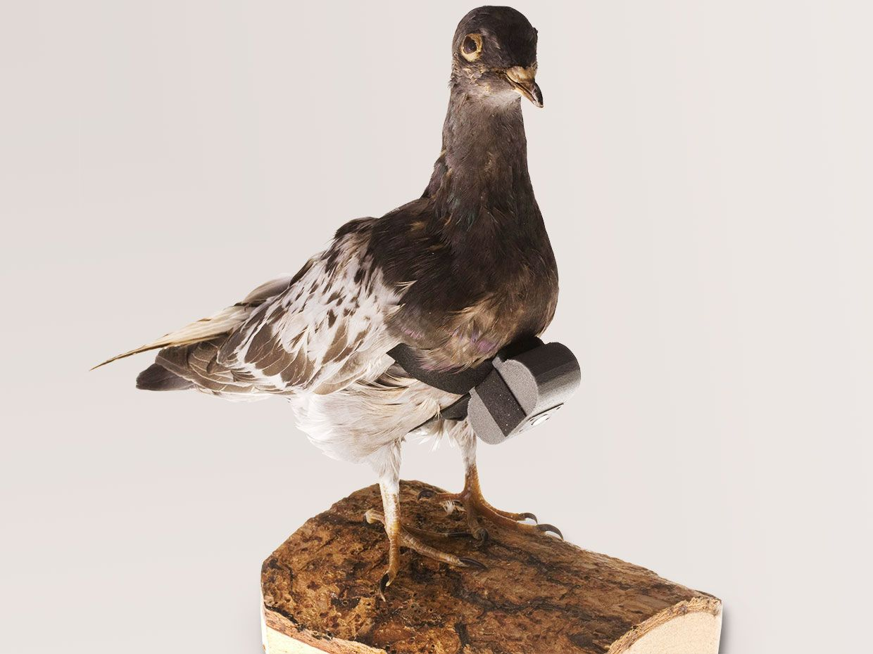 In the 1970s, the CIA developed a tiny camera that turned homing pigeons into spies.