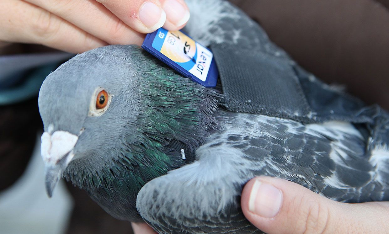 A Colorado rafting company relied on pigeons to transport film and later SD cards back to the home base.