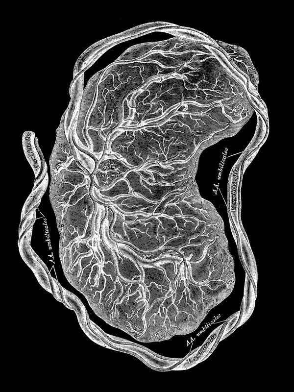 Illustration of Placenta