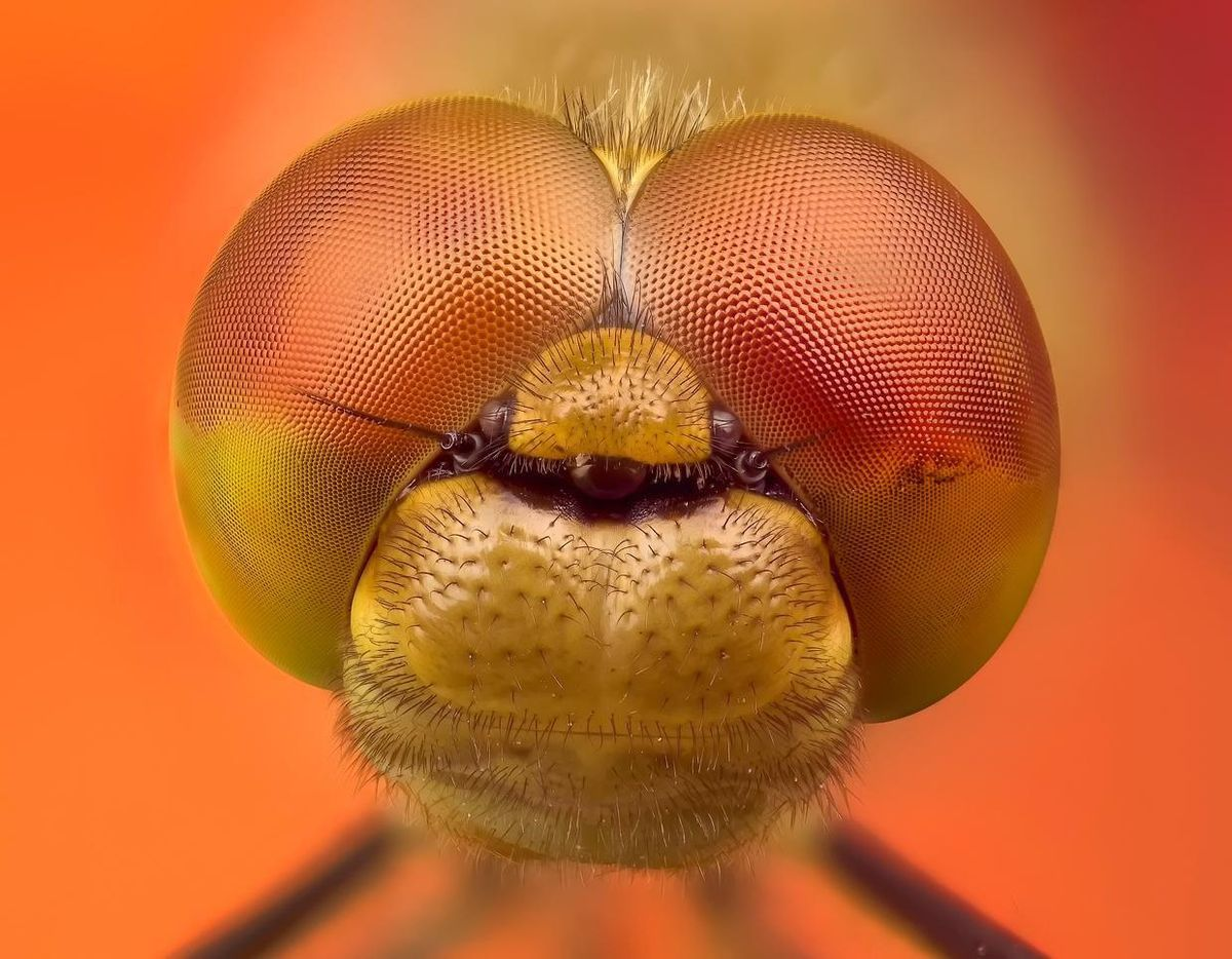 Closeup of a face of a dragonfly.