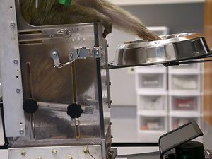 IMG - Monkeys Navigate a Wheelchair With Their Thoughts