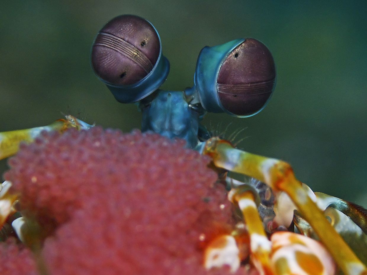 Photograph showing a mantis shrimp's eyes.
