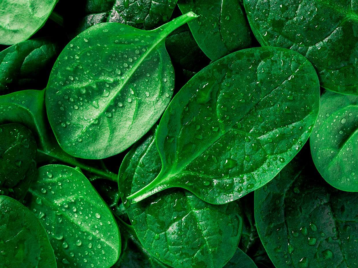 Spinach Gives Fuel Cells a Power Up