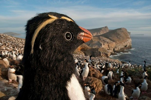 robot penguins spy on real penguins