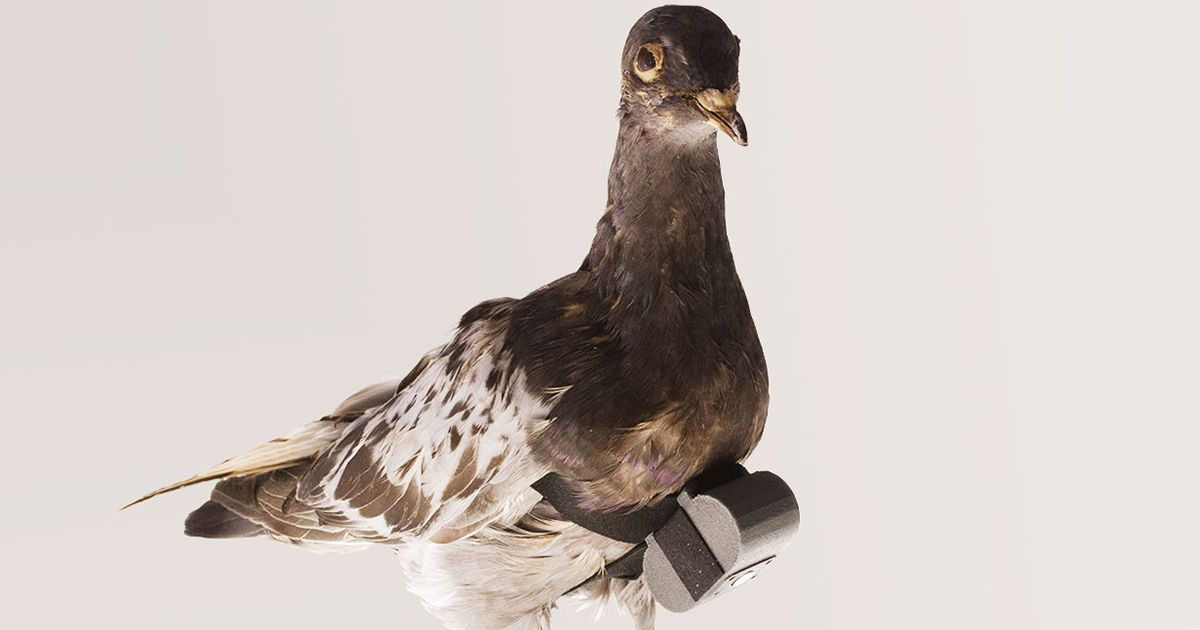 Consider the Pigeon, a Surprisingly Capable Technology