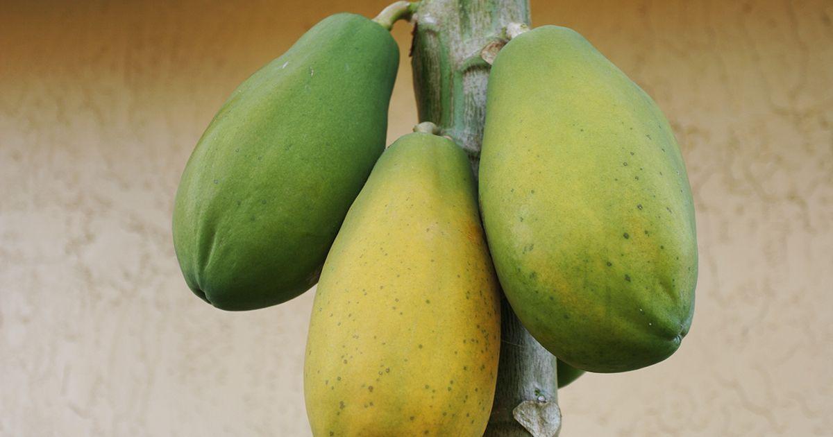 AI Detects Papaya Ripeness