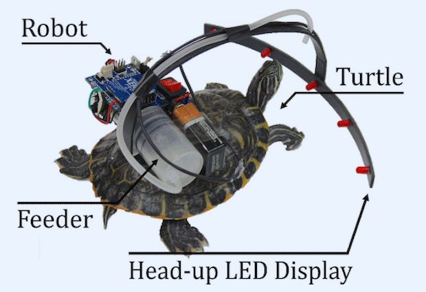 Researchers mounted a robot on the back of a live turtle to guide its movements