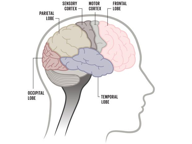 From Macro to Micro: A Visual Guide to the Brain