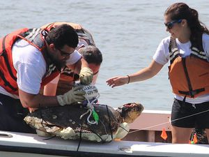 Scientists attach a GPS buoy to a sea turtle carcass.