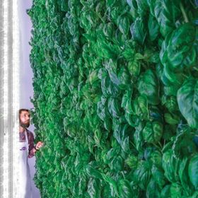 Staff looking at a wall of basil.