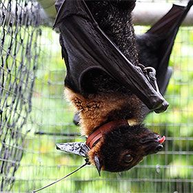 Photograph of a spectacled flying fox (Pteropus conspicillatus) with the GPS collar.