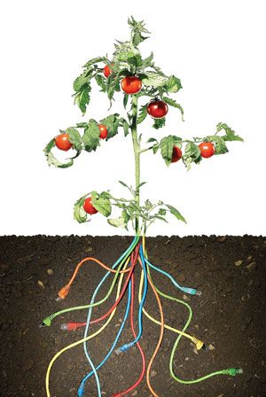 photo illustration of a tomato plant with ethernet cables for roots