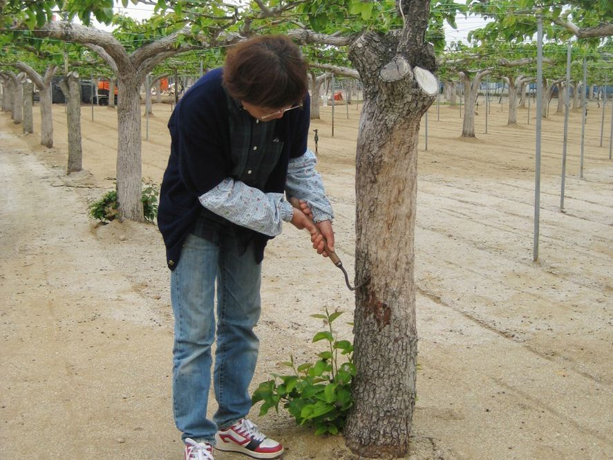 <b>Tree by Tree:</b> This pear farm in Fukushima Prefecture lies well outside the evacuation zone, but the farmer still couldn't sell her produce after the accident. She cooperated with the government on a decontamination project: Workers removed the topsoil, while the farmer and her family scraped the outer layer of bark off each tree to remove radioactive particles.