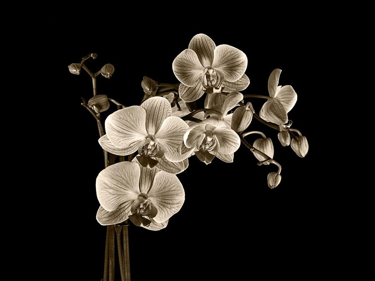 Sepia image of flowers
