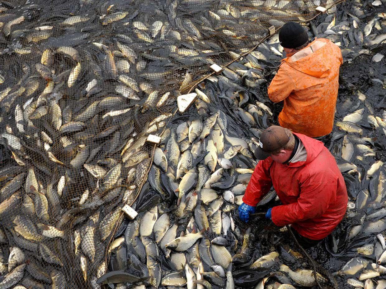 Farmers harvest carp from a farm in Belarus
