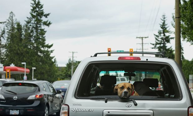 Image of a dog sticking his head out of the car window while stuck in a traffic jam.