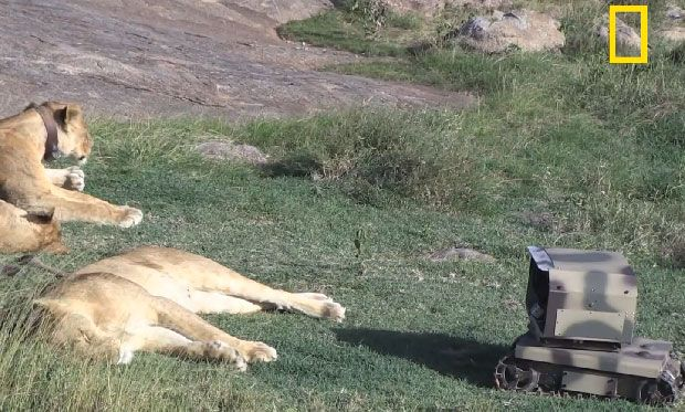 National Geographic Robots Get Intimate With Lions