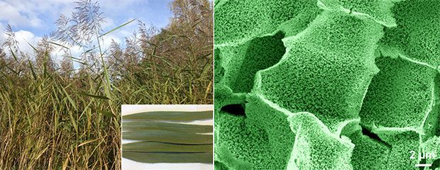 Porous Silicon Battery Electrodes from Reeds