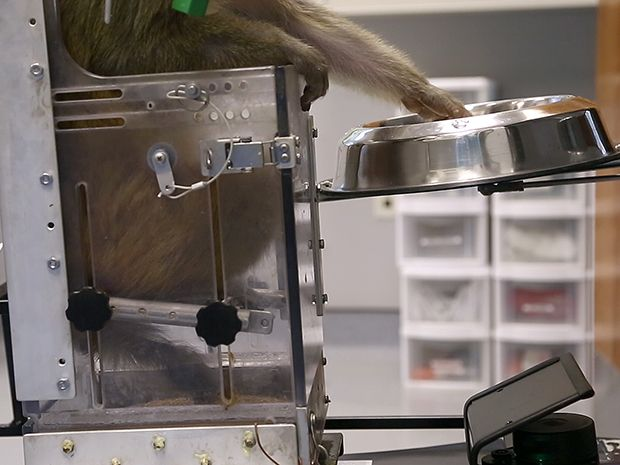 Monkeys Navigate a Wheelchair With Their Thoughts