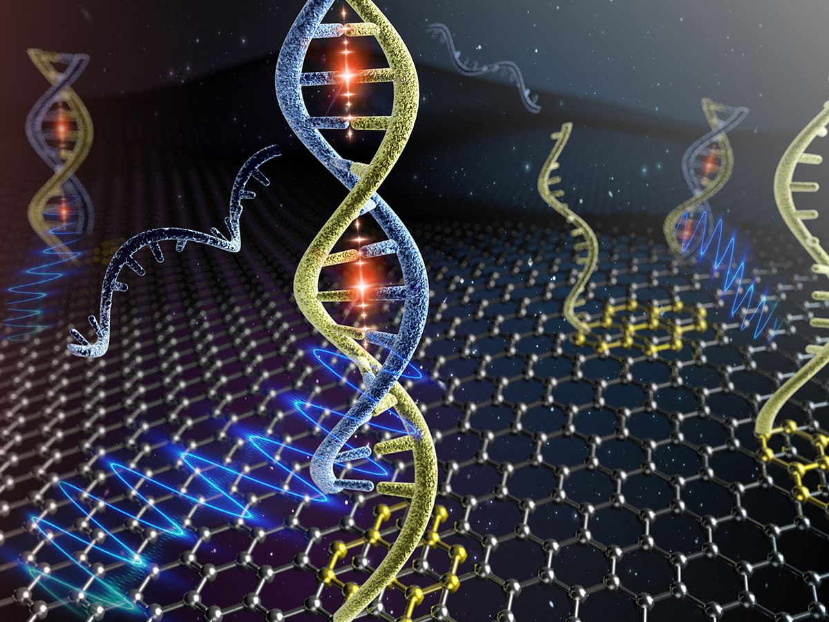 Artist's illustration of complementary DNA molecules binding to PNA molecules that are noncovalently anchored on the graphene surface.