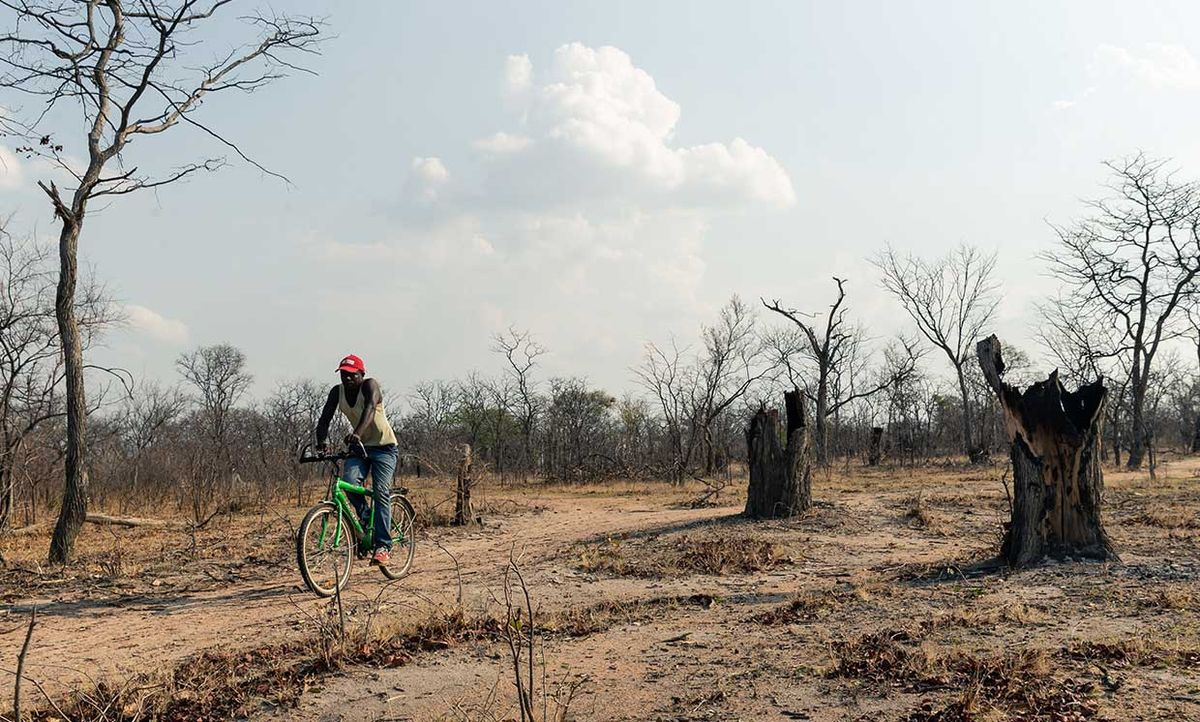 A man rides his bicycle past stumps of hardwood Mopani trees, felled by means of fire because its diameter was too big to easily axe down, that shapes part of a deforested landscape in Mhondoro Ngezi district, on November 1, 2019.