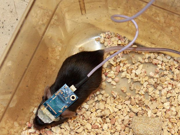 Monitoring a mouse with nanowire meshes injected into its brain