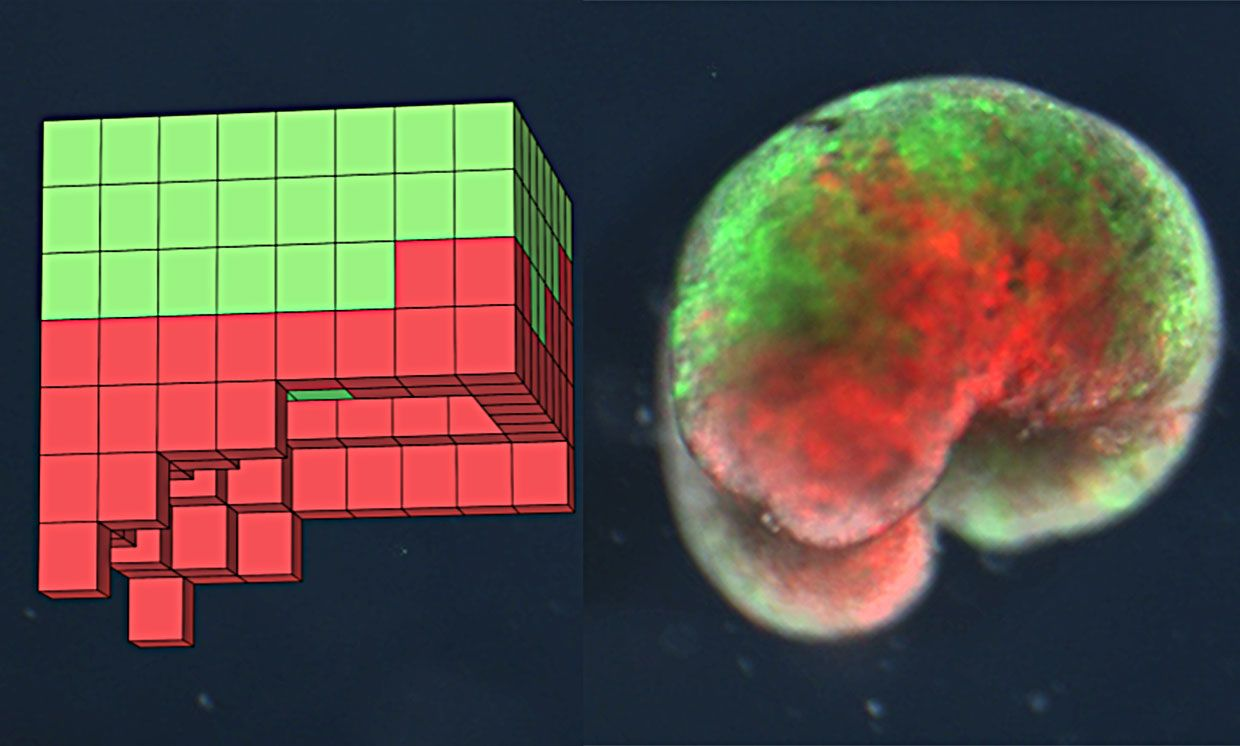 One of the over 100 computer-designed organisms. Left: the design discovered by the computational search method in simulation. Right: the deployed physical organism, built completely from biological tissue (frog skin (green) and heart muscle (red)).