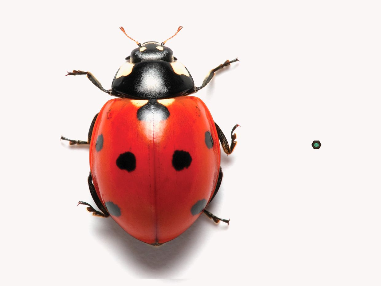 Photo of a ladybug.