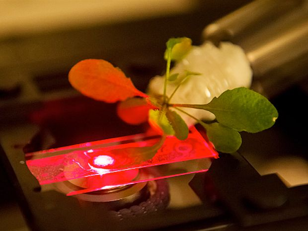 Researchers use a near-infrared microscope to read the output of carbon nanotube sensors embedded in an Arabidopsis thaliana plant.