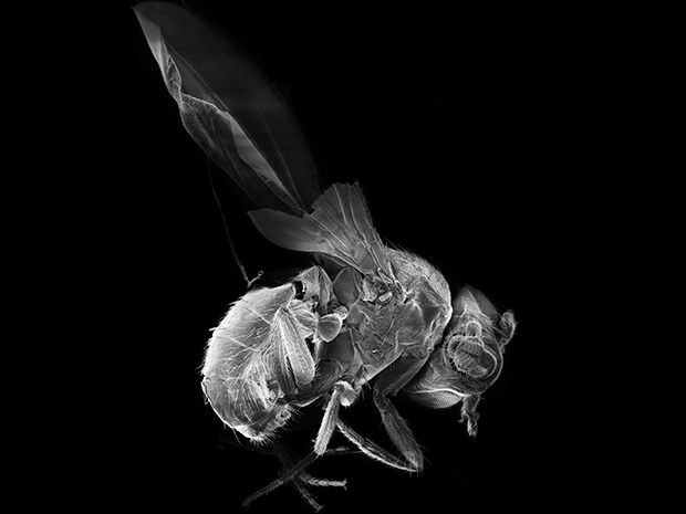 Scientists Control a Fly's Heart With a Laser