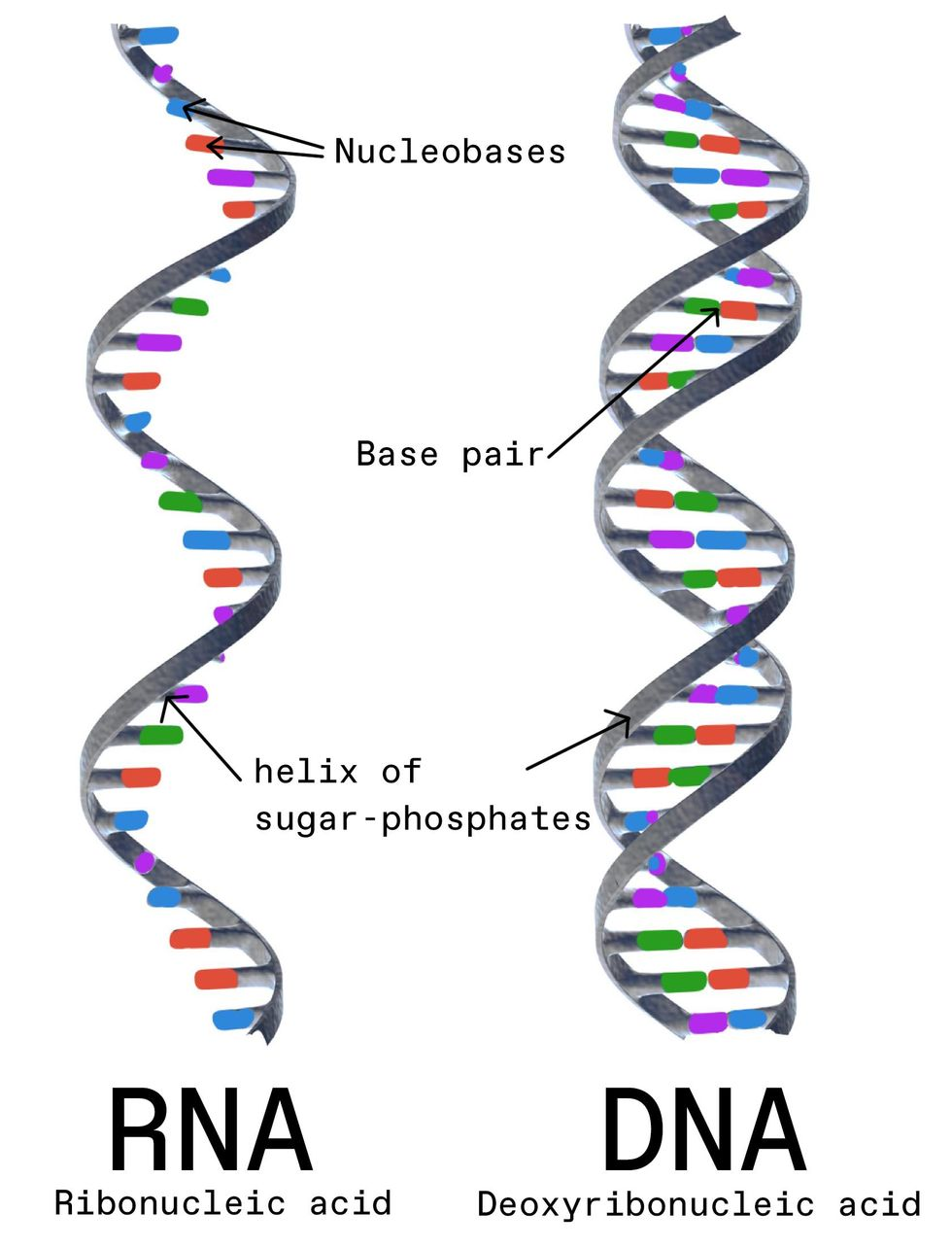 Two illustrations show the structure of a single-stranded RNA molecule and a double-stranded DNA molecule.