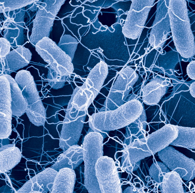 University of Maryland researchers have rewired the bacterial quorum sensing systems in two strains of E. coli to enable groups of cells to work together, autonomously.